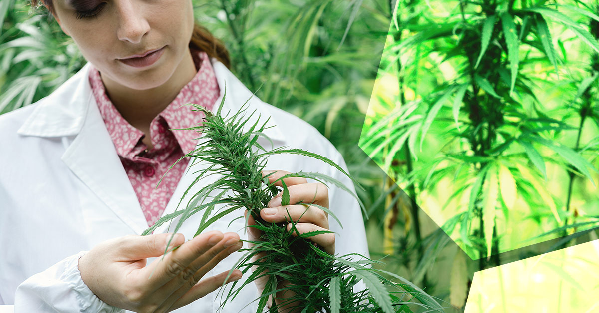 Woman scientist examines a sprig of hemp plant